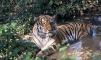 Amur_Heilong_Species_image_(c)_Hartmut_Jungius_WWF_Canon